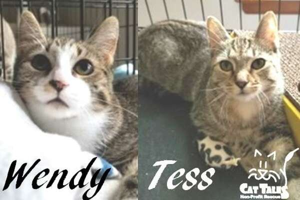 """Wendy and Tess are sisters, brown tabbies, about 7 months old. Wendy says, ?""""Hi, I'm Wendy and my sister is Tess. We were rescued from the streets of Middletown. I love to sit on my foster moms lap while Tess loves head scratches. We love toys and treats, and we are love bugs who can purr up a storm with people we trust. We just need an understanding, quiet home who will allow us to continue to grow and prosper. We love each other very much and cuddle together daily, so we really need to be adopted together. It would be so wonderful to go home for the holidays. Call or email Cat Tales and ask for us.?"""" Visit http://www.CatTalesCT.org/cats/Tess, call 860-344-9043 or email: info@CatTalesCT.org, Watch our TV commercial: https://youtu.be/Y1MECIS4mIc"""
