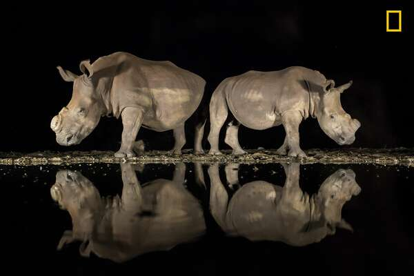 Winners of the 2018 National Geographic Photo Contest, 3rd Place, Wildlife As the late-night hours ticked by and my eyelids grew heavy, two southern white rhinoceroses appeared silently from the shadows to drink from a watering hole in South Africa's Zimanga Game Reserve. On alert, they stood back to back, observing their surroundings before lowering  their heads. I felt privileged to share this moment with these endangered animals. While I was well prepared technically, with my camera set correctly on a tripod, I underestimated the emotional impact the magnificent beasts would have on me. I had photographed them months earlier, and now both rhinos sported a new look: They had been dehorned to deter poachers. I had heard about this development but had not yet seen them. I was full of emotion-and horror-that poaching had such a devastating effect. It must have been a hard decision to dehorn their rhinos, and I am grateful for the reserve's efforts. Link: https://yourshot.nationalgeographic.com/photos/12905481 DO NOT USE