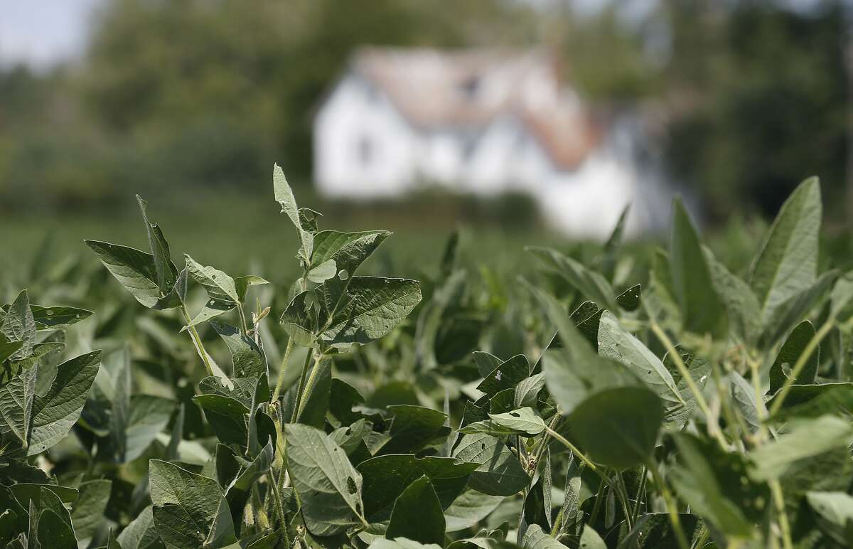 In this Sept. 7, 2018 file photo, soybean plants grow in a field in front of a farm house in Locust Hill, Va. American farmers have seen the value of their crop plummet amid a trade war with China.