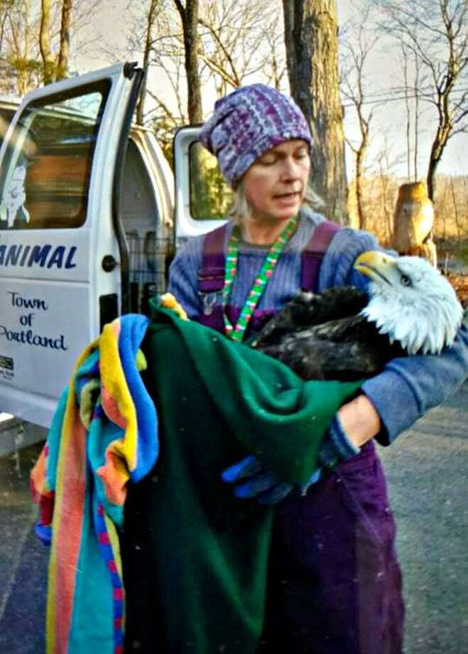 Portland police Sgt. James Kelly happened upon a bald eagle hit by a car early Wednesday on Route 17. Photo: Contributed Photo