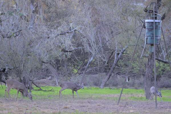 Fat, healthy and showing good potential for next year, this trio of a spike, an eight-point buck and a doe munch on corn near a feeder on a ranch near Pearsall.