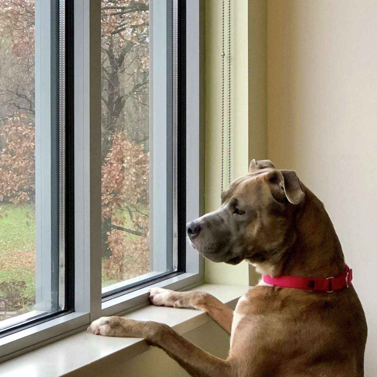 Luna, a Troy dog which the Mohawk Hudson Humane Society is trying to save after it was scheduled to be euthanized after an apparent biting incident, is pictured at the shelter in Menands, N.Y.