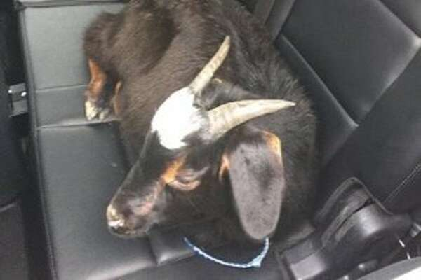 CHP officers in Oakland took a goat to an animal shelter after it ran through southbound I-880 in Oakland early Monday afternoon.
