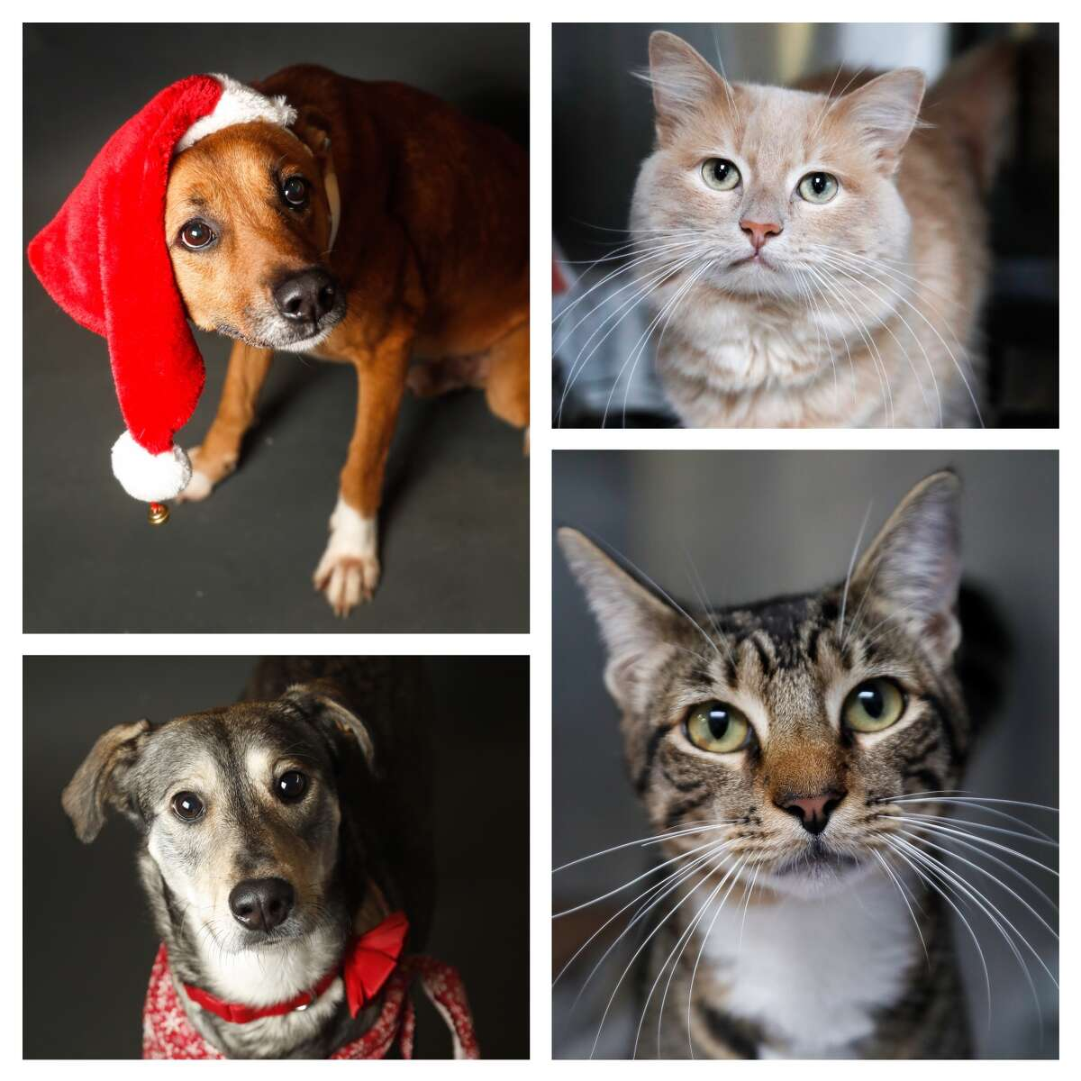 """Dogs and cats ready to be adopted from Houston BARC. BARC is running a """"Home for the Hoidays"""" promotion of $5 Adoptions for all pets five months and older, December 17th-31st. Photographed Tuesday, Dec. 18, 2018, in Houston."""
