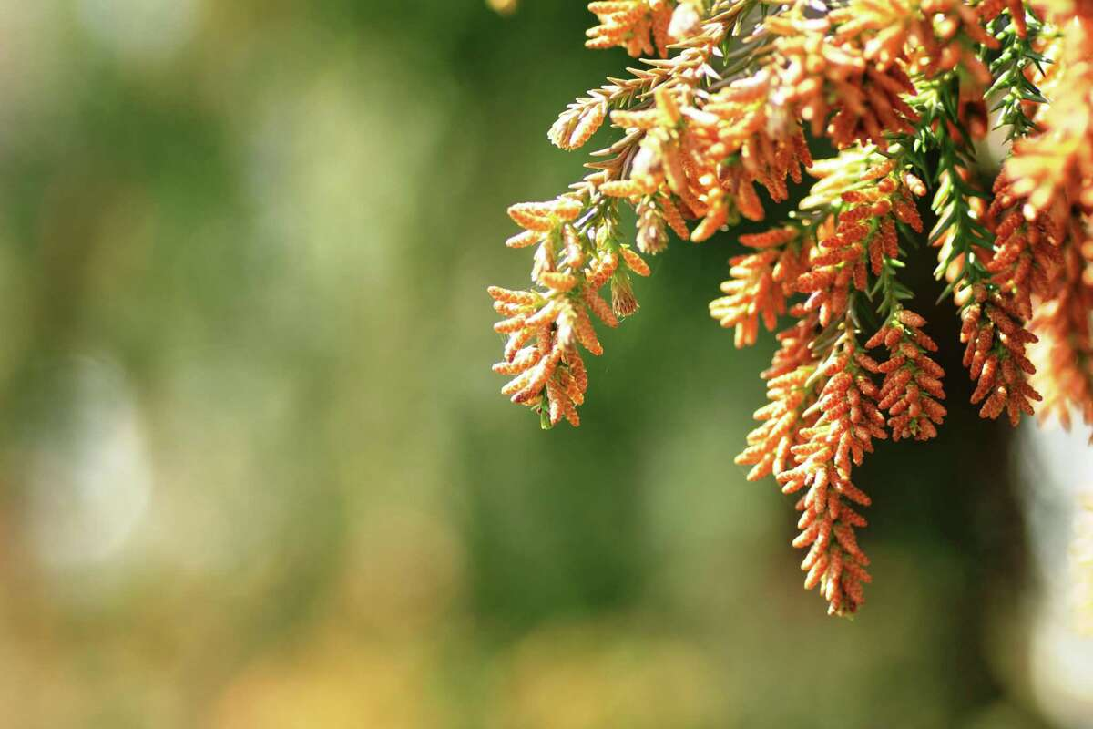 In Texas, mountain cedar typically occurs during the winter season, with a peak in December, according to the Aspire Allergy & Sinus Center. And, judging by a recent San Antonio Reddit post, the community is feeling it.