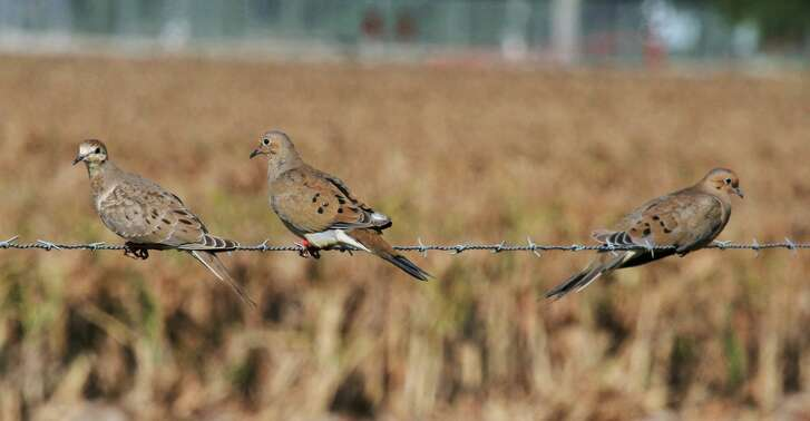 "Scouting is crucial to wingshooters' success during Texas' ""winter"" dove season. The wintering birds tend to be highly concentrated around tracts combining low ground cover and an abundance of seeds from native wild plants such as croton, pigweed, ragweed and sunflower."