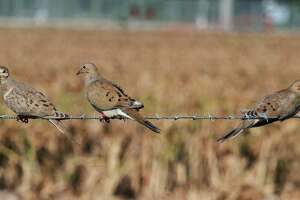 """Scouting is crucial to wingshooters' success during Texas' """"winter"""" dove season. The wintering birds tend to be highly concentrated around tracts combining low ground cover and an abundance of seeds from native wild plants such as croton, pigweed, ragweed and sunflower."""