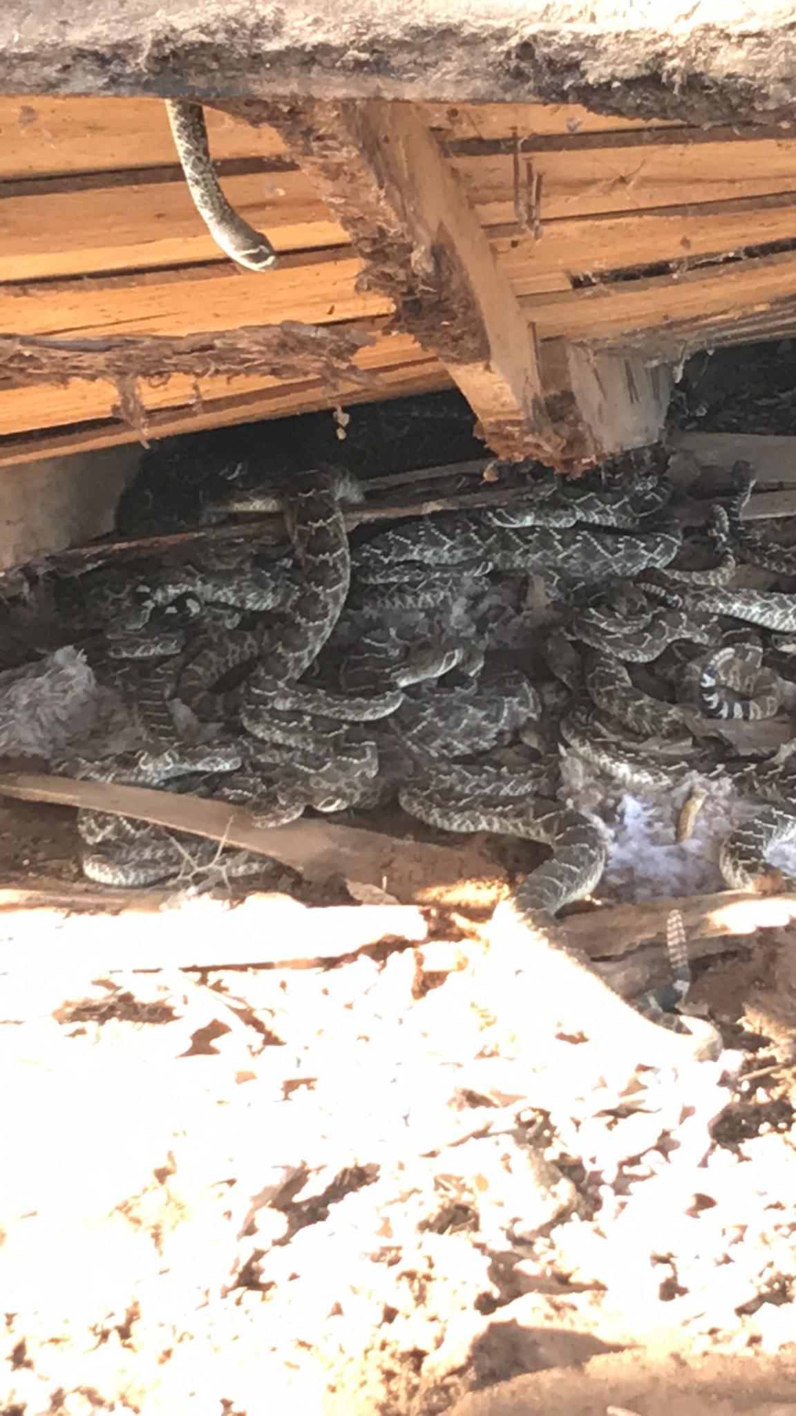 Video Texas Man Finds Dozens Of Rattlesnakes Under