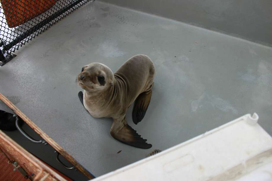 California sea lion Cruizin explores a pen during rehabilitation at The Marine Mammal Center in Sausalito, CA. The Center is thankful to its partners at the Alameda County Sheriff's Office and the USDA for their support in the rescue effort Thursday morning. Photo: Photo © The Marine Mammal Center