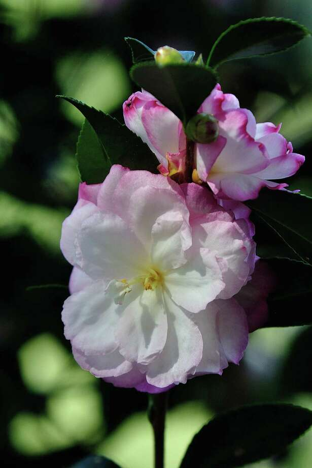 """Leslie Ann"" camellia looks gorgeous at all flower stages. Photo: Norman Winter, HO / TNS / TNS"