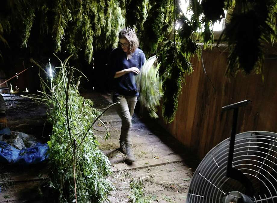 Sarah Rogers works hanging hemp plants in a barn at her farm on Tuesday, Oct. 16, 2018, in Hebron, N.Y. The hemp plants need to dry out before being sent to be processed. Rogers and her sister Iris Rogers are harvesting their first crop of hemp plants. Some of the plants will be used for CBD oil. (Paul Buckowski/Times Union) Photo: Paul Buckowski / Albany Times Union / (Paul Buckowski/Times Union)