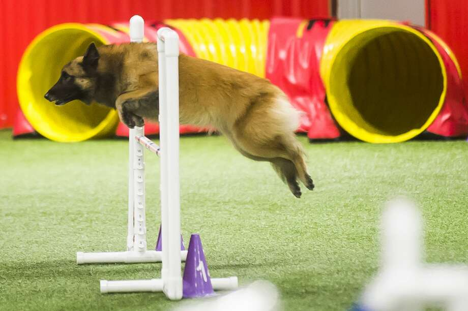 Karen Erzen's Tervuren, named Mila, participates in American Kennel Club agility trials on Thursday, Dec. 20, 2018 at TNT Dog Center in Midland. (Katy Kildee/kkildee@mdn.net) Photo: (Katy Kildee/kkildee@mdn.net)