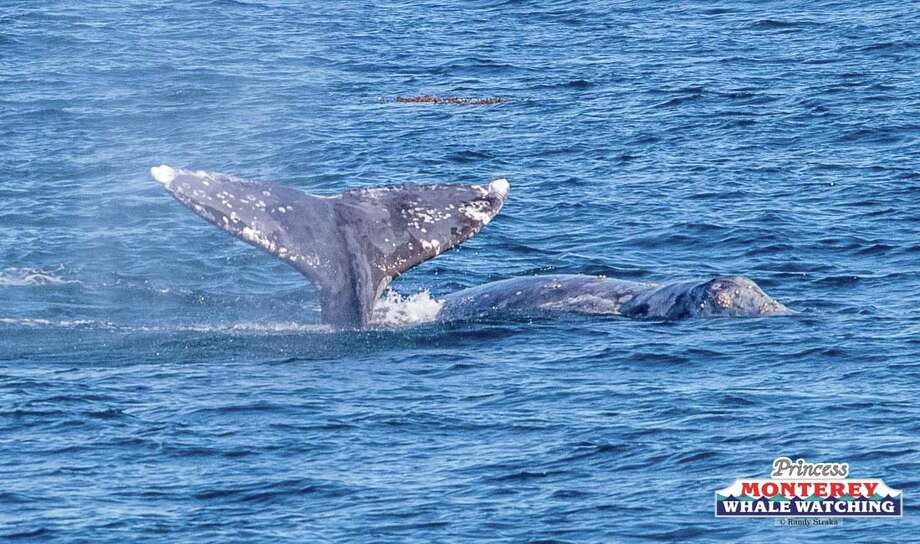 Gray whale nearly migrates into the Newport Beach Pier