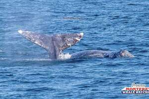 Photos taken by a photographer with Princess Monterey Whale Watching show gray whales seen on a whale watching trip on Dec. 21, 2018. Gray whales are being spotted in greater numbers off the coast of Northern and Central California as they make their annual southward migration.