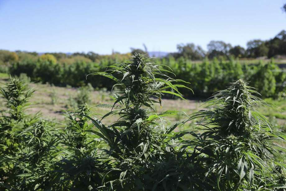 Cannabis buds at New Family Farm in Sebastopol, Calif., Oct. 19. A reader disputes a commentary that argues against voters approving marijuana legalization. Photo: JIM WILSON /NYT / NYTNS
