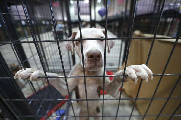 A dog waits for it's owner in the Pet Reunion Pavilion inside of NRG Arena, Wednesday, Sept. 13, 2017, in Houston, where Best Friends Animal Society, based in Utah, has partnered with the Harris County Public Health's Animal Shelter, Austin Pets Alive!, Houston Pets Alive!, and Houston PetSet. This will act as a hub for families trying to locate their pets displaced by Tropical Storm Harvey. ( Karen Warren / Houston Chronicle )