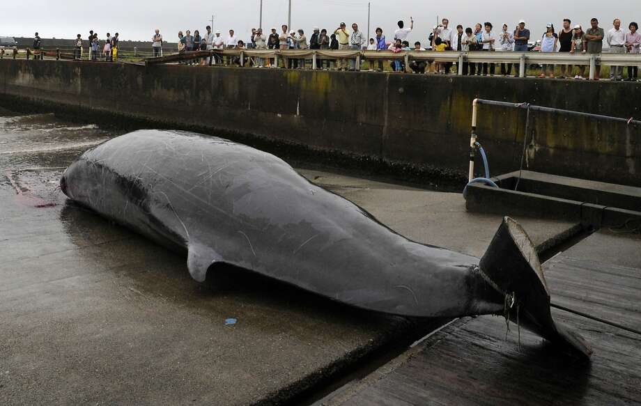 A Baird's beaked whale, which was caught in 2009 some 38 miles off the Japanese coast, is seen at a fishing port, in Wada, southeast of Tokyo. Photo: Shuji Kajiyama / Associated Press 2009