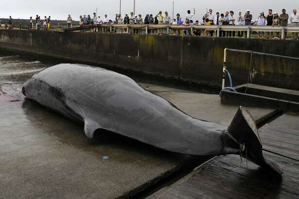 In this June 21, 2009, photo, a Baird's beaked whale, which was caught some 60 kilometers (38 miles) off the coast, is seen at a fishing port, in Wada, southeast of Tokyo. Japan announced Wednesday, Dec. 26, 2018, it is leaving the International Whaling Commission to resume hunting the animals for commercial use but said it will no longer go to the Antarctic for its much-criticized annual killings of hundreds of whales. Japan has hunted whales for centuries, but has reduced its catch following international protests and declining demand for whale meat at home.(AP Photo/Shuji Kajiyama)