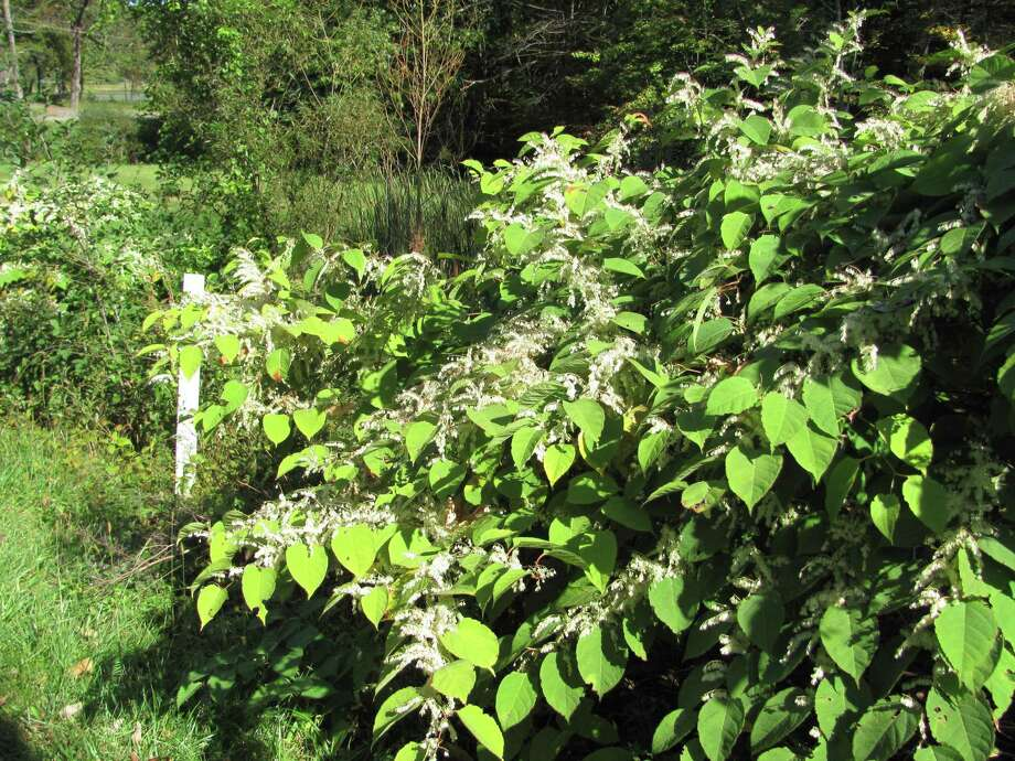 Japanese knotweed can grow 10 feet high and spread runners dozens of feet away even under asphalt, where it grows through cracks and continues to grow. Photo: Contributed Photo /Colleen Plimpt / The News-Times Contributed