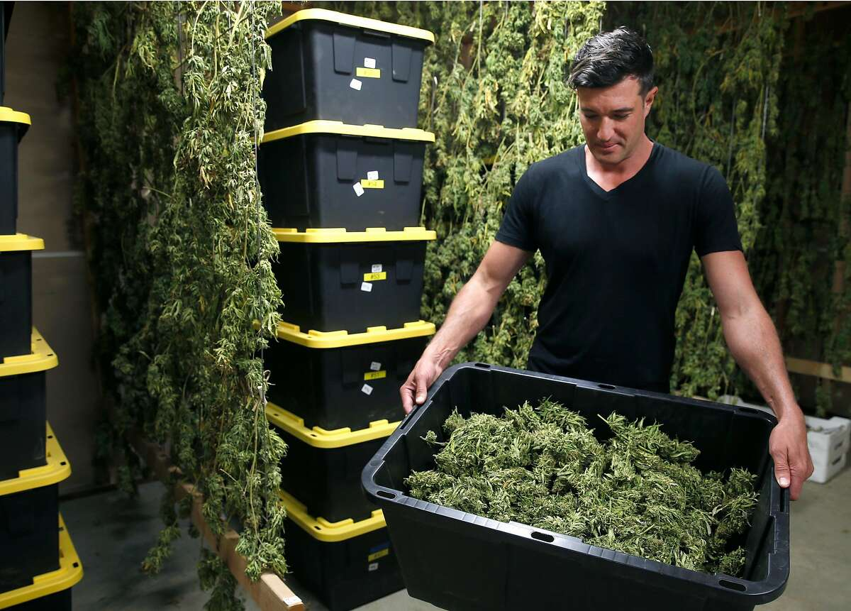 Erich Pearson holds a bin of harvested medicinal marijuana in the drying room at the SPARC cannabis farm in Glen Ellen, Calif. on Friday, July 14, 2017. Erich Pearson's expansive operation includes a field of 250 marijuana plants grown using a biodynamic method among his major cultivation of about 4,500 organically-grown plants.