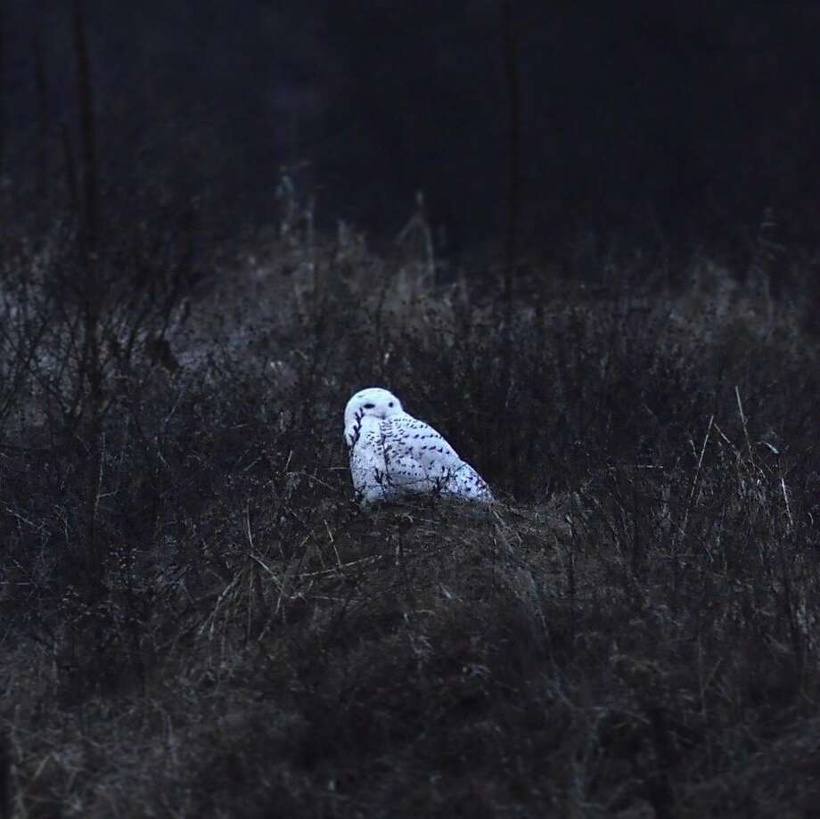 Joyce Bassett, a photographer and Times Union news editor, tried for weeks to capture an image of a snowy owl she knew to be in the area. She finally found him Wednesday, Dec. 26, 2018. And she  watched for more than an hour Thursday as he perched in a field and surveyed his terrain. Photo: Joyce Bassett / Times Union