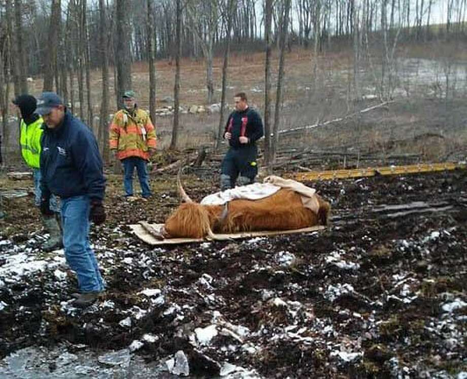 """The Harwinton Volunteer Fire Department rescued a cow stuck in the mud on Wednesday, Dec. 27, 2018. It said the owner was able to get it unstuck using a strap and a winch on a quad, but the cow was """"cold and weak and unable to stand."""" Cow rescuers from the fire department soon arrived on the scene to help the bogged-down bovine. Photo: Harwinton Volunteer Fire Department"""