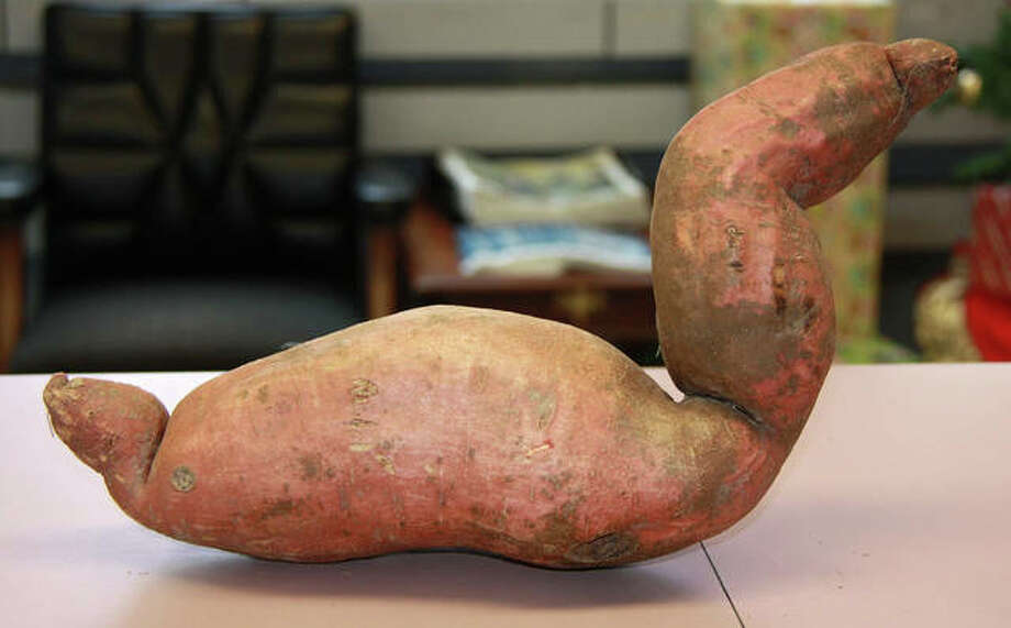 Ray and Mary Jane Kerkemeyer, of rural Edwardsville, grew a sweet potato, pictured, between June and October of this year. Ray Kerkemeyer thought the spud resembled a duck. Mary Jane Kerkemeyer said she thought the potato resembled a swan; then he mentioned it resembled the Loch Ness Monster. Ray measured the sweet spud at 15 inches in length, however, they did not weigh the potato. Mary Jane said the potato will be peeled, baked, and soon eaten. Photo: Charles Bolinger | The Intelligencer