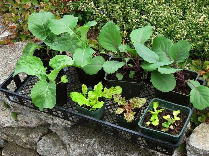 Seedlings for the winter garden.