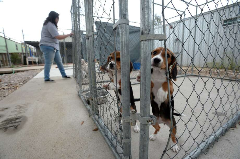 Two beagles play while Jessica Frederick works with other dogs at the Humane Society in Beaumont on Friday.  Photo taken Friday, 12/28/18 Photo: Guiseppe Barranco / The Enterprise / Guiseppe Barranco ©