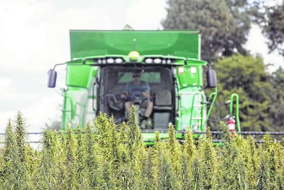 A farmer harvests hemp at Murray State University's West Farm in Murray, Kentucky. The state has laid out its oversight plans for hemp's comeback as a legal commodity. Experts say Illinois farmers could find a new cash crop in the plant. Photo: Ryan Hermens | Paducah Sun (AP)