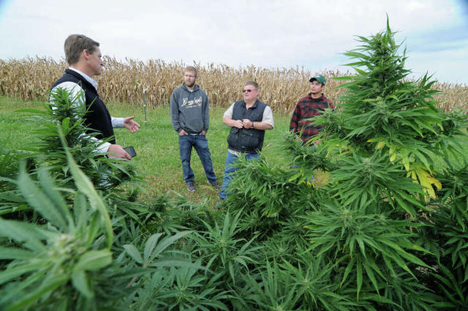 Western Illinois University School of Agriculture Professor Win Phippen, left, discusses the hemp harvesting process with Logan Bird, Andy Huston and Mateo Gillen at the Warren County test plot the latter three men grew this year. Photo: David Blanchette | For The Telegraph