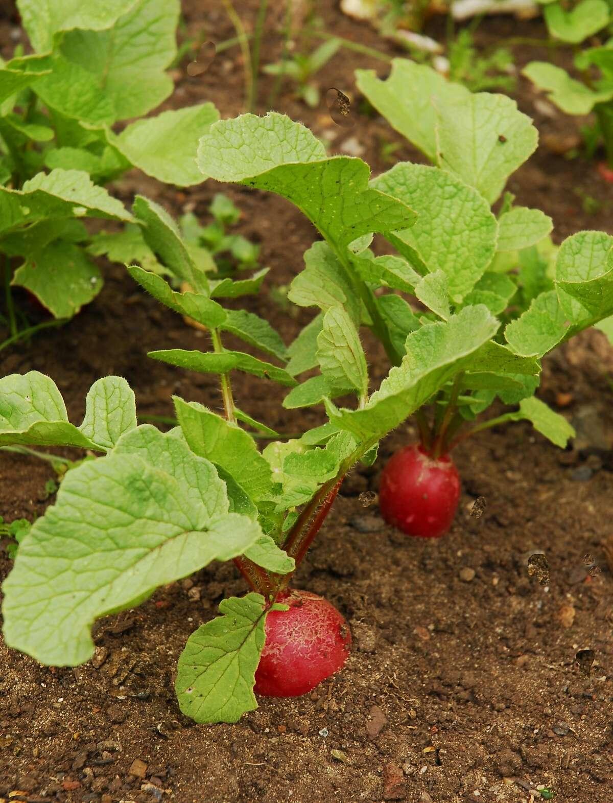 'Cherry Belle' radish for the winter garden.