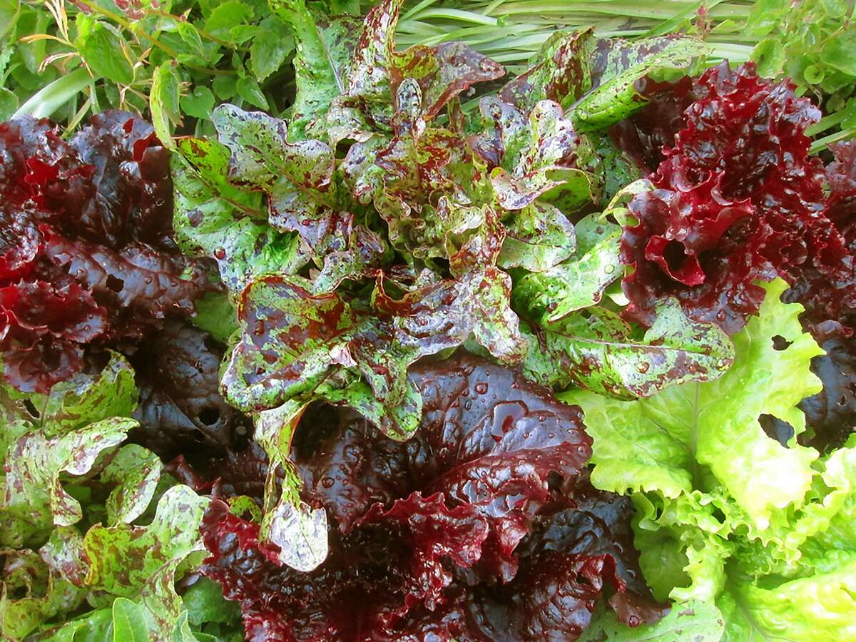 Mixed loose-leaf lettuce for the winter garden.