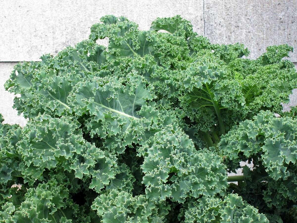 Kale for the winter garden.