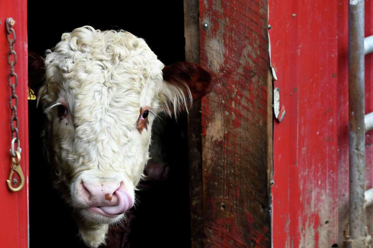 One of the Swartz family's Hereford cow calfs pokes its head out of a barn at Maple Hill Farm on Monday, Dec. 31, 2018, on Ashdown Road in Clifton Park, N.Y. The farm will be permanently preserved thanks to grant from the state. (Will Waldron/Times Union)