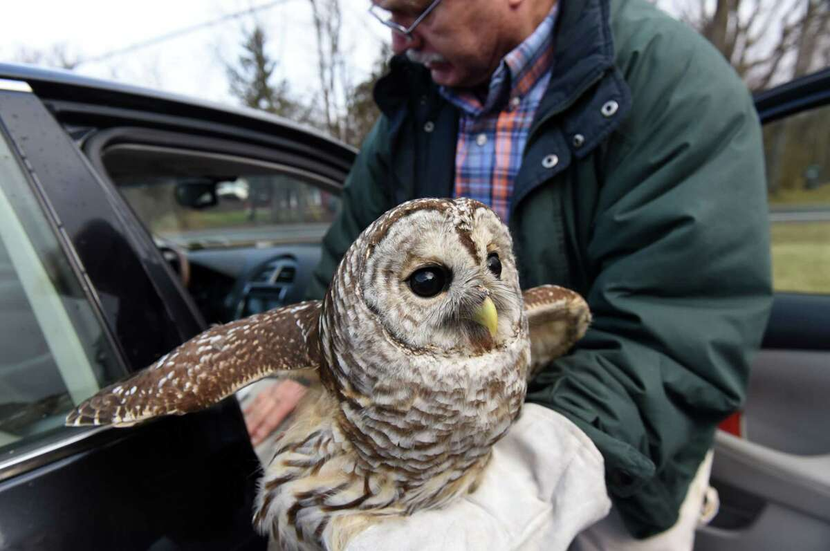 Wildlife rehabilitator George Sarris holds a barred owl that was rescued by GlobalFoundries worker Chance Hazelnis on Tuesday, Jan. 1, 2019, in Waterford, N.Y. The bird was nursed back to health and released on New Year's Day. (Will Waldron/Times Union)