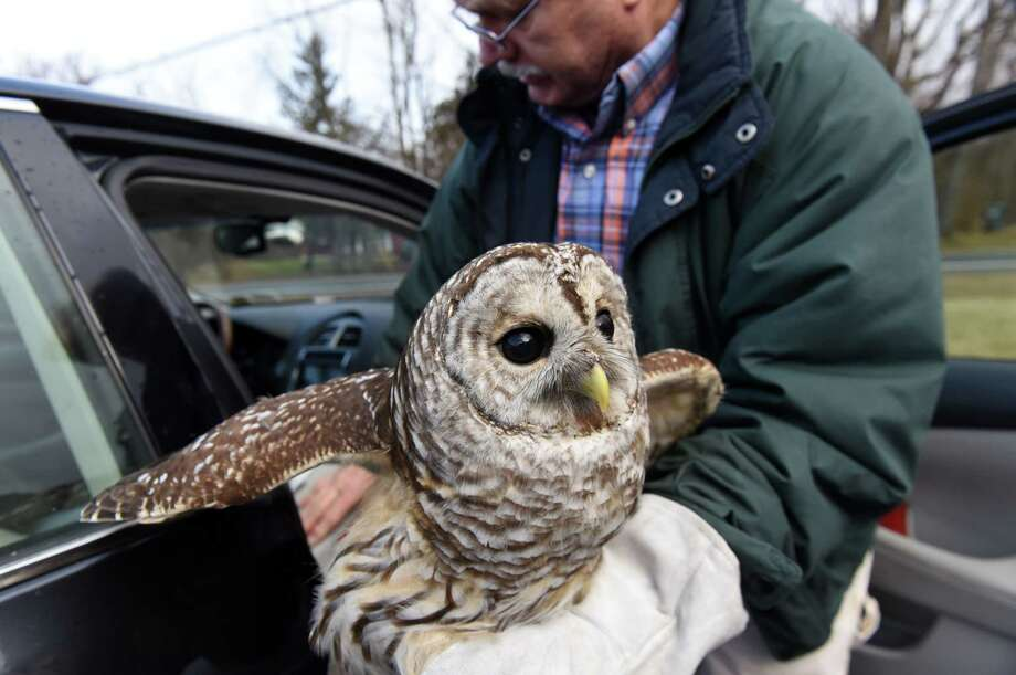 Wildlife rehabilitator George Sarris holds a barred owl that was rescued by GlobalFoundries worker Chance Hazelnis on Tuesday, Jan. 1, 2019, in Waterford, N.Y. The bird was nursed back to health and released on New Year's Day. (Will Waldron/Times Union) Photo: Will Waldron / 20045834A