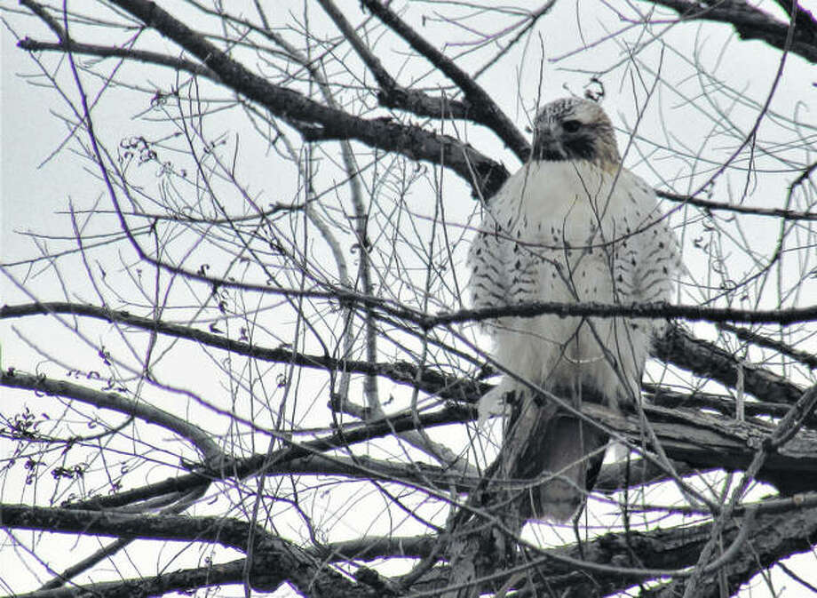 A hawk sits in a tree south of White Hall.