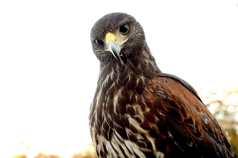 Furiosa, a Harris hawk, was caught and trained for falconry. Photo: Kim Brent / The Enterprise / BEN