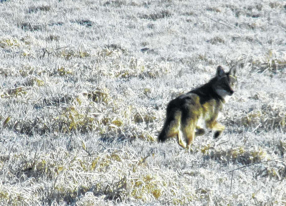 A coyote keeps an eye on its surroundings as it runs through a field north of Scottville.