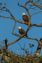 Bald eagles pairs form bonds for life. Adult birds stand 3 feet tall.