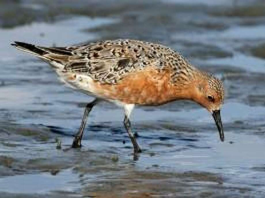 Red knots, coastal birds, are on the threatened species list, but might lose protection. Photo: / Connecticut Audubon Society
