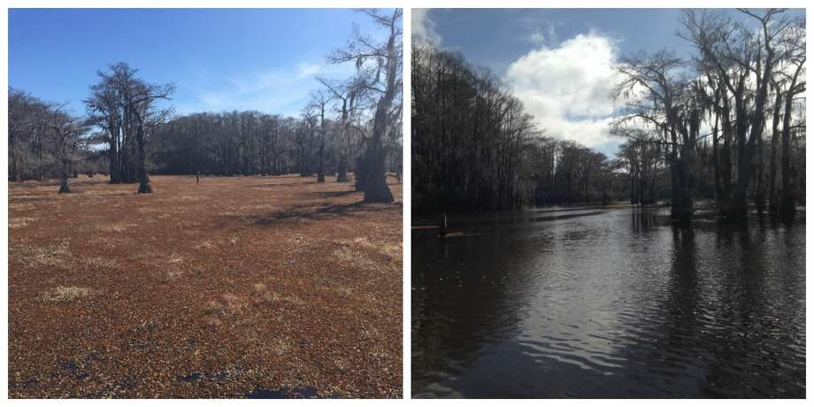 PHOTOS: Salvinia at Caddo Lake  These photos show just how dramatically salvinia affects Caddo Lake. The photo on the left was taken in January 2018 after a freeze. The salvinia browned and eventually sunk into the water, leaving what is shown in the photo on the right a few months later. >>> See more photos showing how the plant affects the lake  Photo: Texas Parks And Wildlife