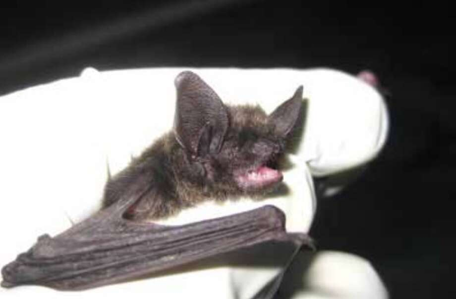 This eastern small-footed bat, the first of its kind seen in the state since the 1940s, was treated and released. Photo: L. Bowen For DEEP