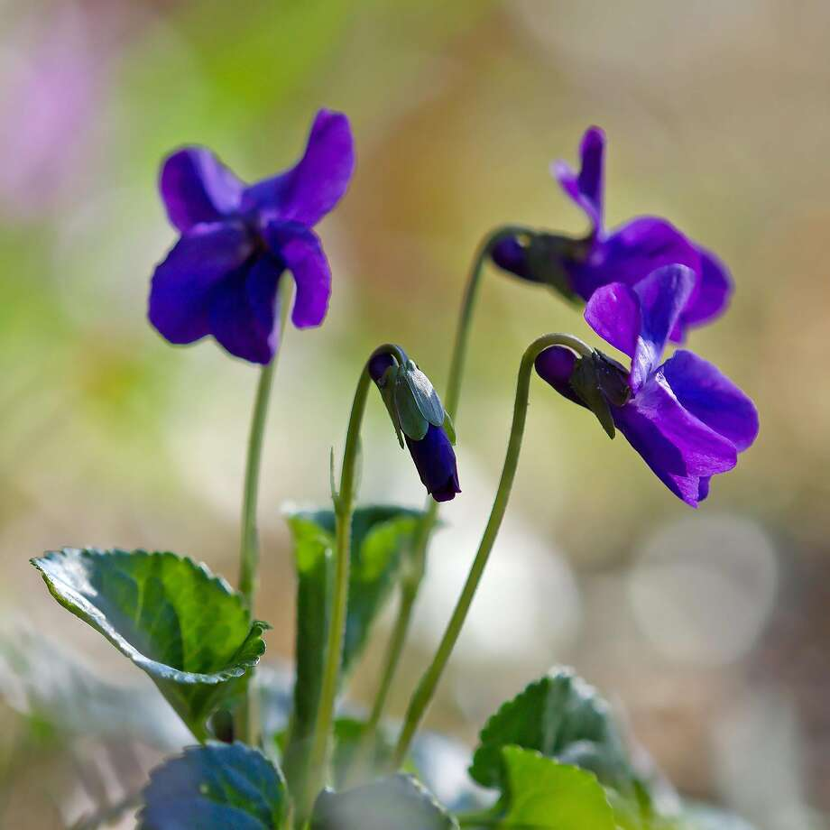 Viola odorata is small but packs a mighty olfactory punch with sweet-smelling bluish-lavender flowers. Photo: WikiMedia Commons
