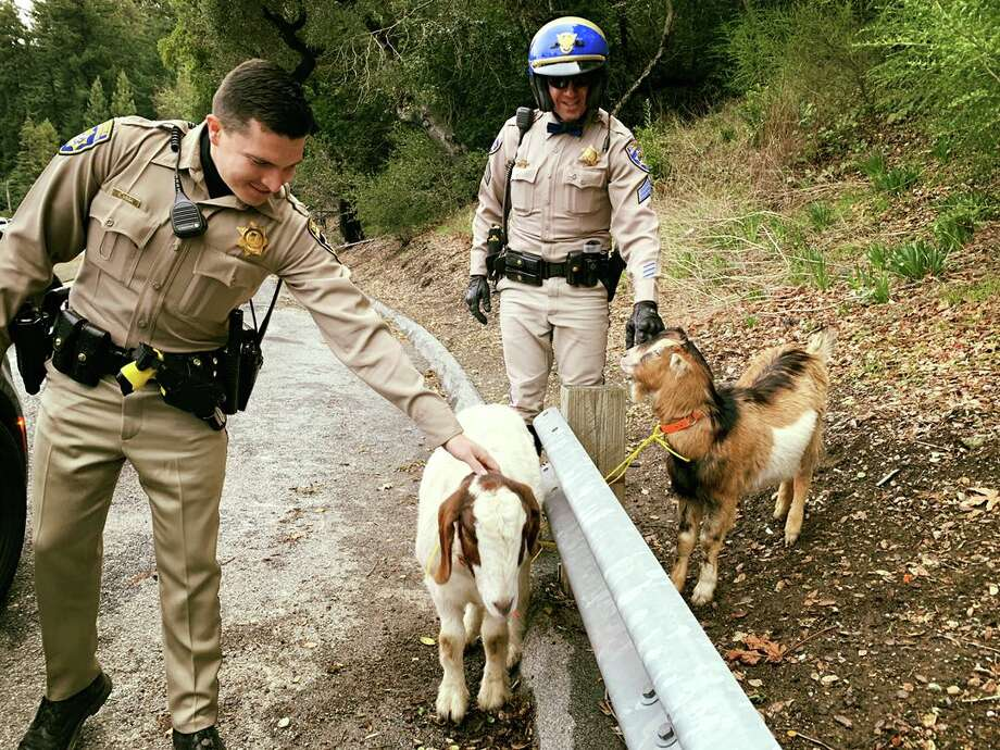 California Highway Patrol officers respond to runaway goats that wandered onto Highway 17 in the Santa Cruz Mountains. Photo: CHP Santa Cruz