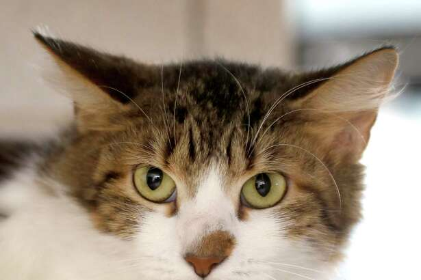 Momma is a 2-year-old, female, Brown Tabby Domestic Shorthair cat and is ready to be adopted from Houston SPCA. (Animal ID: 377804) Photographed Tuesday, Jan. 8, 2019, in Houston.