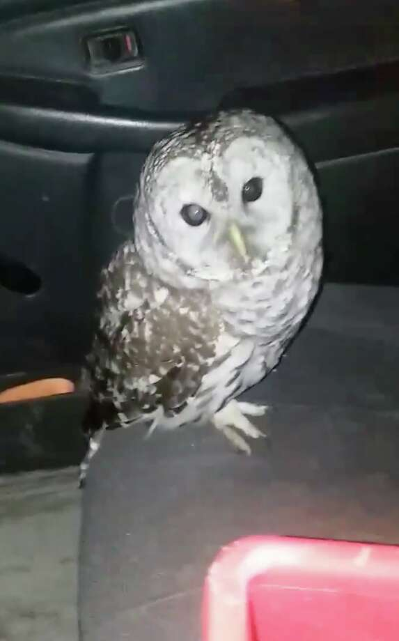An owl flew through a moving pickup truck's window and into the driver's face on Jan. 2, 2019, in Averill Park, N.Y. The driver, Jeremy Dodge, suffered a few scrapes but the bird flew away, apparently uninjured. Keep clicking for more wild animal sightings in the Capital Region. Photo: Courtesy Of Jeremy Dodge