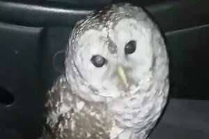 An owl flew through a moving pickup truck's window and into the driver's face on Jan. 2, 2019, in Averill Park, N.Y. The driver, Jeremy Dodge, suffered a few scrapes but the bird flew away, apparently uninjured.