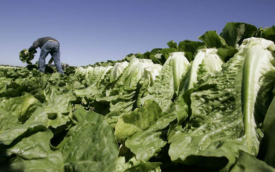 FILE - In this Aug. 16, 2007 file photo, a worker harvests romaine lettuce in Salinas, Calif. U.S. health officials are declaring an end to a food poisoning outbreak blamed on romaine lettuce from California. (AP Photo/Paul Sakuma, File) Photo: Paul Sakuma, Associated Press